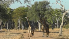 Thornicroft giraffes crossing a road Stock Footage