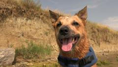 Happy dog after swimming lifejacket on beach cliff shoreline. Stock Footage
