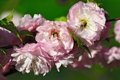 Almond blossoms (Prunus triloba Plena) Stock Photos