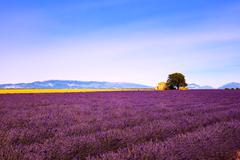 Lavender flowers blooming field, house and tree. Provence, Franc - stock photo