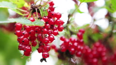 Stock Video Footage of Red ripe currant berries on foreground with defocused background, copyspace