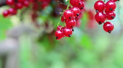 Juicy red currant berries hanging on the branch, close up - stock footage