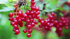 Stock Video Footage of Caucasian hands picking big berries of red currant, close up view