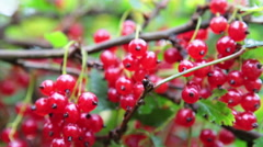 Stock Video Footage of Macro view of big berries of red currant hanging in clusters on the branches