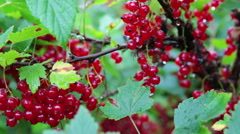 Close up view of red currant branches full of ripe berries Stock Footage