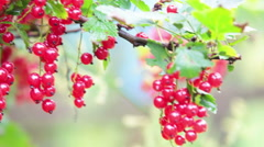 Camera review of red currant branches full of ripe berries Stock Footage