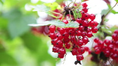 Stock Video Footage of Bunches of red currant hanging in garden, close-up