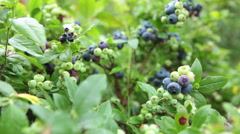 View over growing garden blueberries bushes, close-up Stock Footage