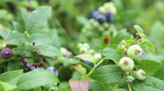 Selective focus over blueberry bushes with growing berries Stock Footage