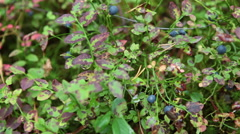 Bushes with ripe blueberries growing on green stems. Autumn, Karelia, Russia Stock Footage