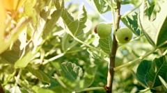 Fig Tree - stock footage