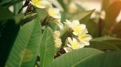 White Plumeria - stock footage