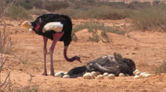Ostrich Hai Bar National Biblical Wildlife Reserve Stock Footage