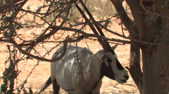 Ibex at the Hai Bar National Biblical Wildlife Reserve Stock Footage