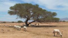 Ibex at the Hai Bar National Biblical Wildlife Reserve - stock footage