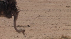 Ostrich in the Desert at the Hai Bar National Biblical Wildlife Reserve - stock footage