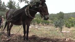 Donkey Resting at Neot Kedumim Stock Footage