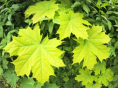 Defocused and blurry image of a young maple leaves - stock photo