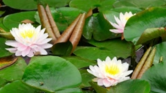 Lotus flowers in a pond, close-up Stock Footage