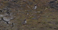 Adult Arctic Tern Flies In To Feed Chicks Stock Footage