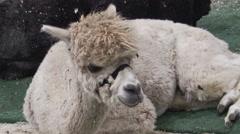 Stock Video Footage of White Alpaca