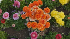 Ranunculus Flowers - pan shot Stock Footage