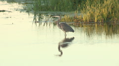 Blue Heron Standing in Shallow Water - stock footage