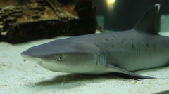 Requiem sharks are family Carcharhinidae - stock footage