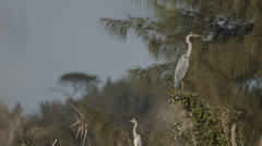 Two Great Egrets sitting on a branch - stock footage