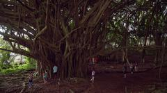 Large Banyan Tree at Wailuku River State Park in Hilo, Hawaii - stock photo