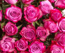 Background image of pink roses Stock Photos