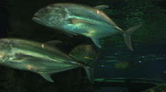 Thunnus from the Scombridae family Stock Footage