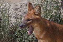 Dingo - stock photo