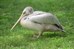 Wild pelican Stock Photos