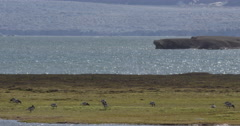 Barnacle Geese On Shoreline of Fjord with Glacier Stock Footage