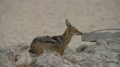 Black-backed Jackal - Enters hole then pulls out. Scavenger 4K uhd africa Stock Footage