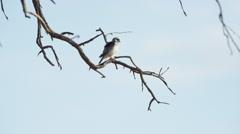 6K R3D - Pygmy Falcon - sitting on dead branch, wide. Bird small raptor 4K uhd Stock Footage