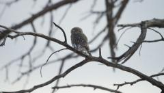 6K R3D - Pearl-spotted Owlet - sitting on branch looking around. Bird 4K uhd Stock Footage