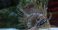Lion fish colourful poison Stock Footage