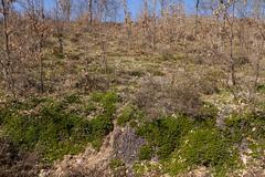 Creeping Plant Bearberry Uva Ursi - Stock Photos