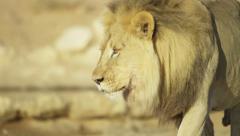 Lion - walks into shade. Africa predator nature african safari 4K uhd ultrahd Stock Footage