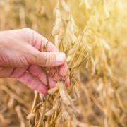 Farmer hand in harvest ready soy bean field - stock photo
