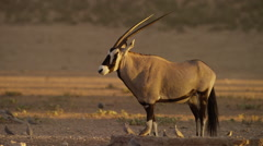Gemsbok - looking around, early morning. Africa antelope horns 4K uhd ultrahd Stock Footage
