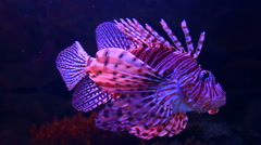 Lion fish in aquarium with dark background Stock Footage