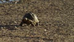 6K R3D - Leopard Tortoise - walking toward camera. Africa reptile nature 4K Stock Footage