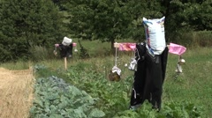 Two scarecrows in the small fields Stock Footage