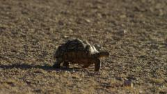 6K R3D - Leopard Tortoise - walking to right. Africa african slow reptile turtle Stock Footage
