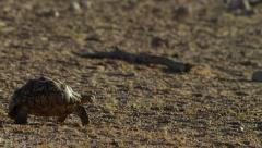 6K R3D - Leopard Tortoise - walking across frame. Africa desert slow reptile 4K Stock Footage