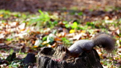 Red squirrel found nuts in stump Stock Footage