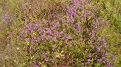 flower bed of thyme in a thicket of green grass high view from above - stock footage
